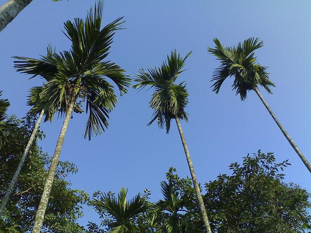 Betel Nut Trees von PhBasumata, CC-Lizenz via flickr